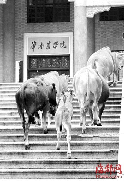 华南农业大学:大牛四处散步-当动物成为大学的风景图片