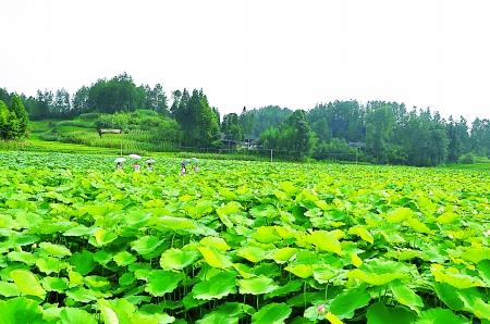 背景 壁纸 成片种植 风景 绿色 绿叶 树叶 植物 种植基地 桌面 450
