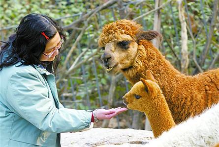 上海动物园饲养员正给上月底新生的小羊驼喂食.