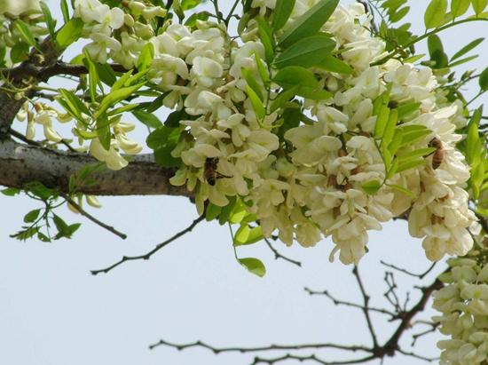二郎山景区将举办槐花节