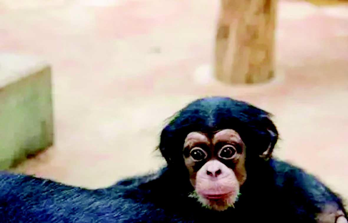 """这个小猩猩出生于2014年12月8日,是个调皮可爱的""""小男孩""""."""