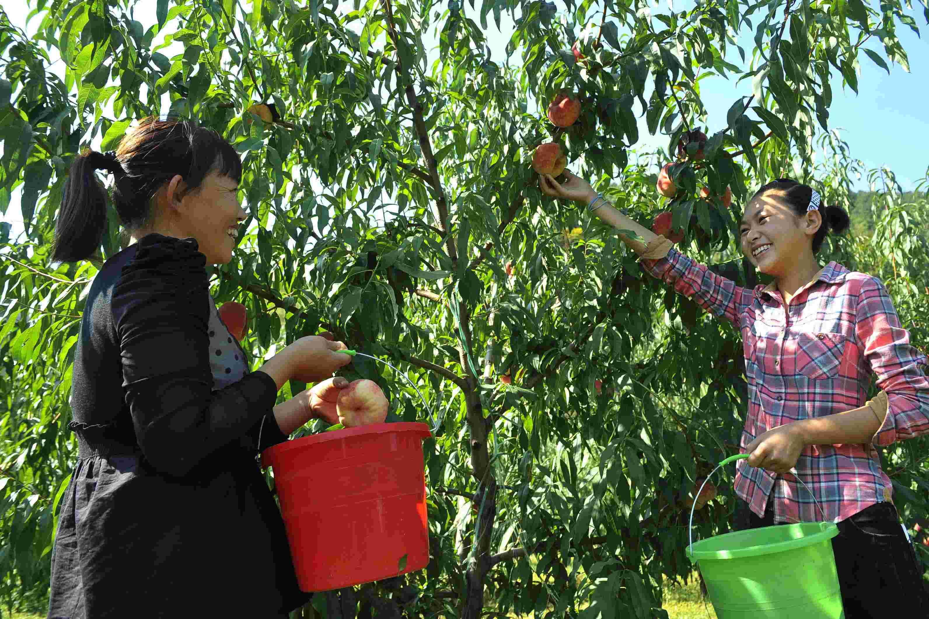 近年来,河北省兴隆县半壁山镇根据辖区的自然条件,大力发展苹果,山